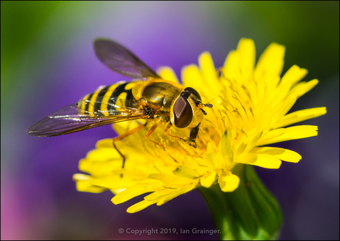 Hoverfly Hoovering