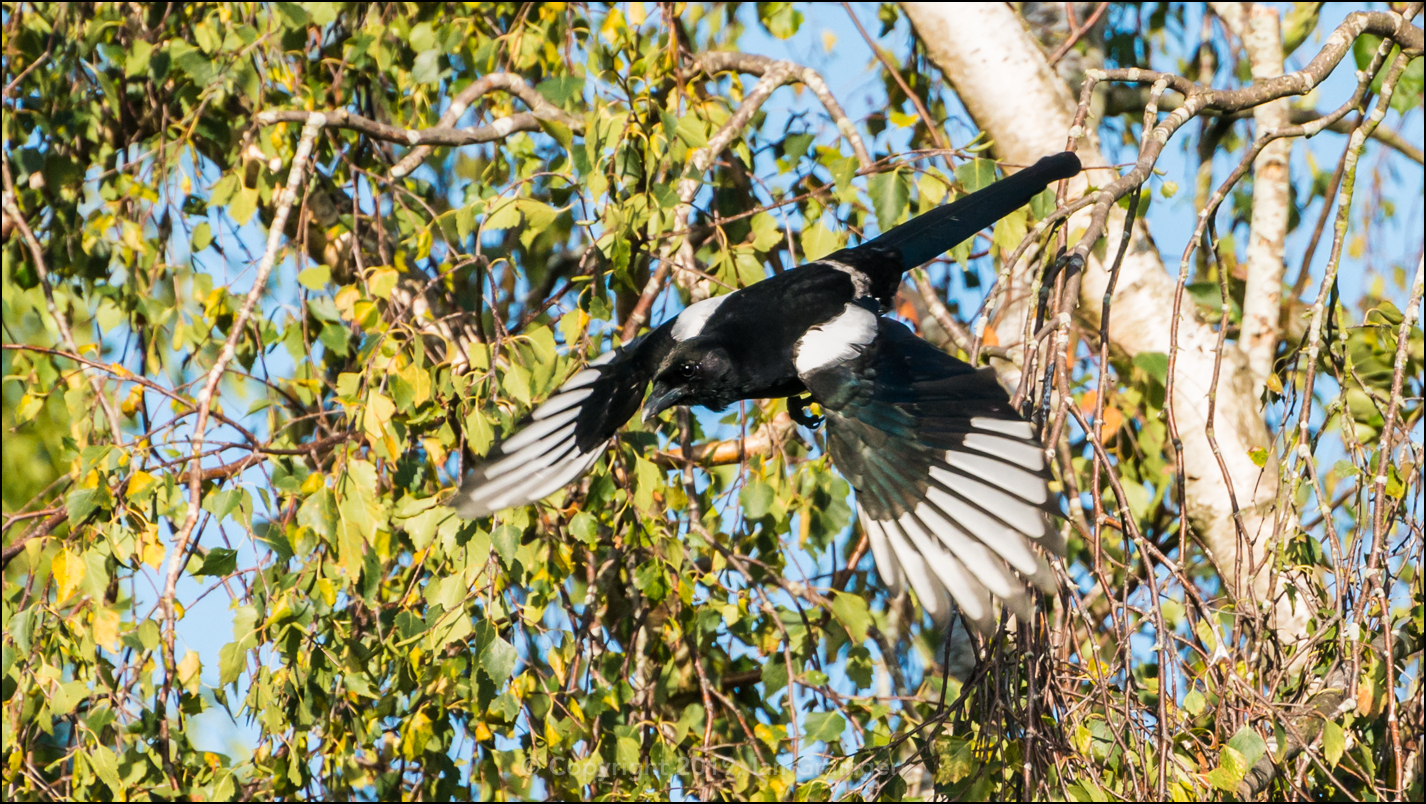 Magpie Mission